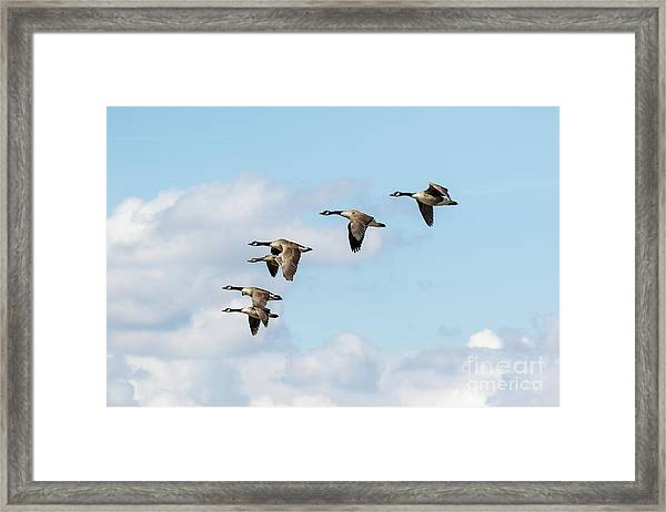 Group Or Gaggle Of Canada Geese - Branta Canadensis - Flying, In F Framed Print