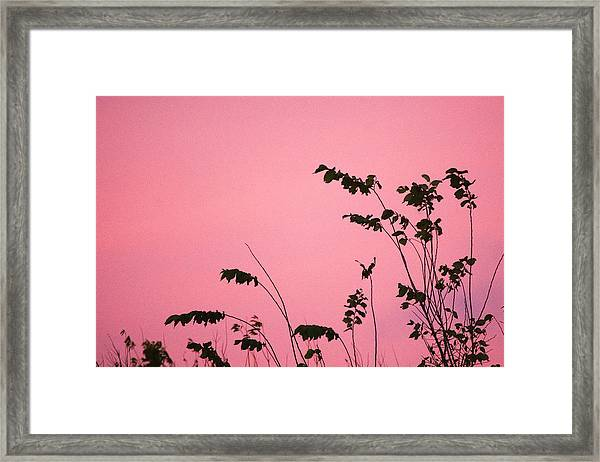 Growing Into Pink Sky  Framed Print