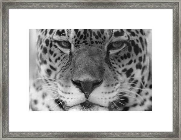 Grumpy Tiger  Framed Print