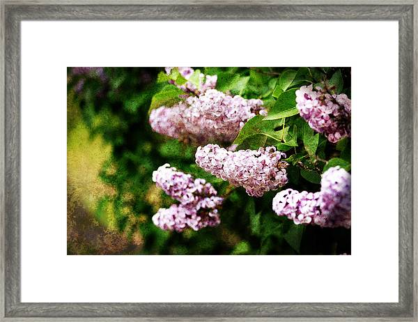 Framed Print featuring the photograph Grunge Lilacs by Antonio Romero