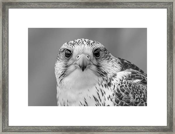 Gyr Falcon Portrait In Black And White Framed Print