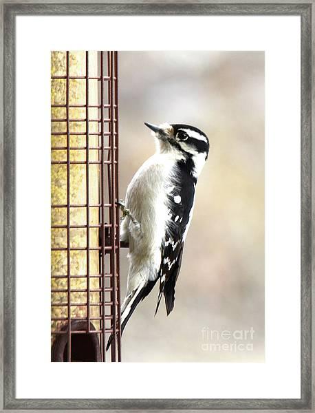 Hairy Woodpecker Framed Print