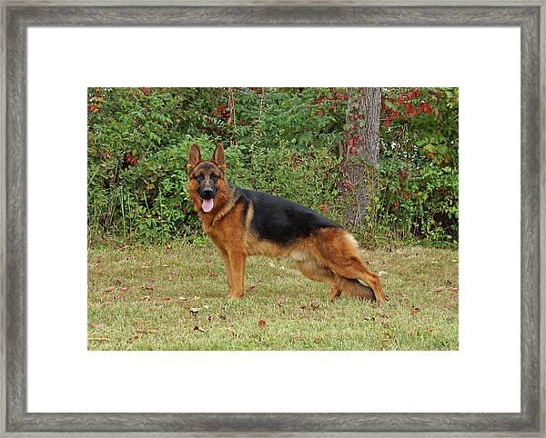 Handsome Rocco Framed Print