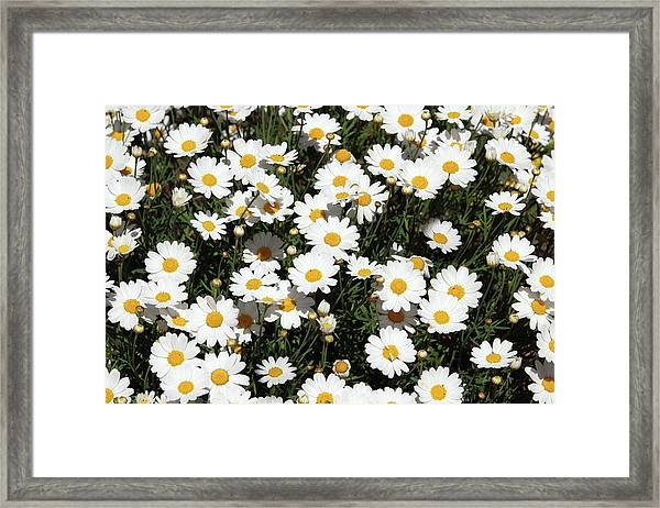Happy Daisies- Photography By Linda Woods Framed Print