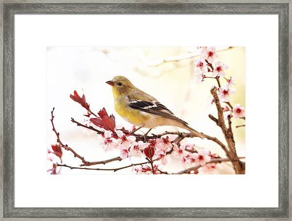 Happy Goldfinch Framed Print