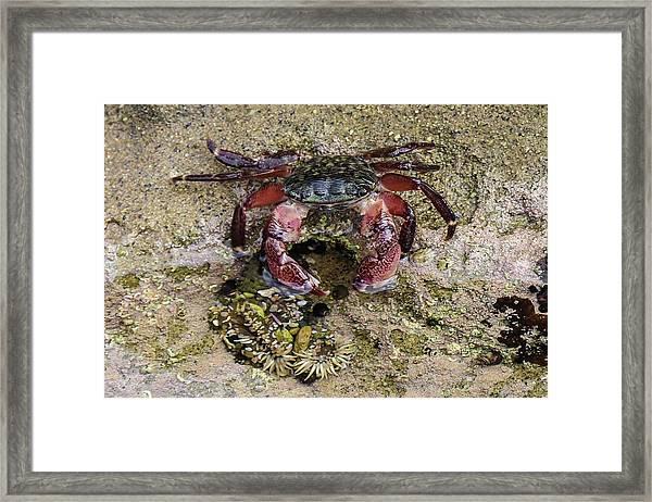 Happy Little Crab Framed Print