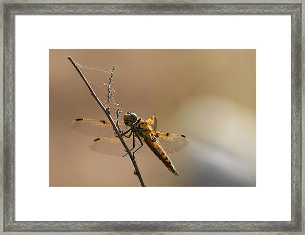 Harbinger Of Luck Framed Print