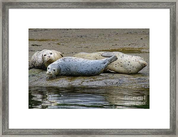 Harbor Seal Banana Pose Framed Print