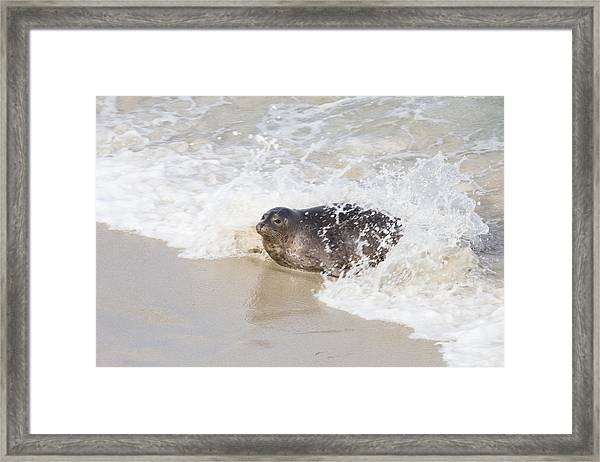 Harbor Seal Framed Print