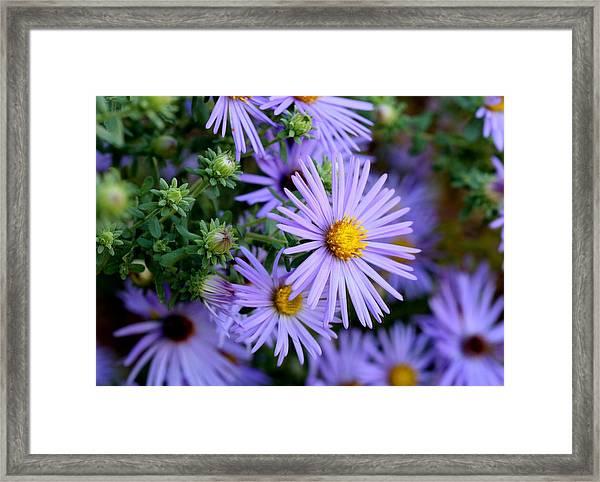 Hardy Blue Aster Flowers Framed Print