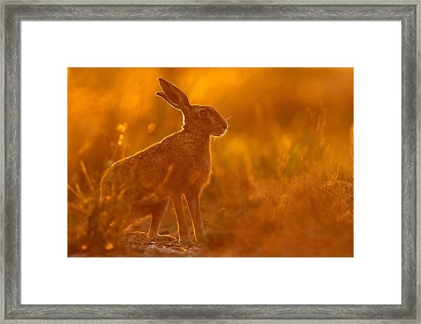Hare At Dusk Framed Print