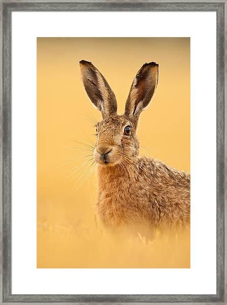 Hare In Barley Stubble Framed Print