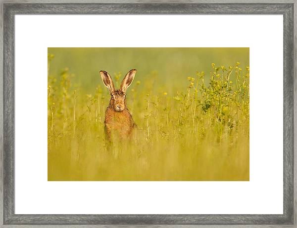 Hare In Mustard Crop Framed Print