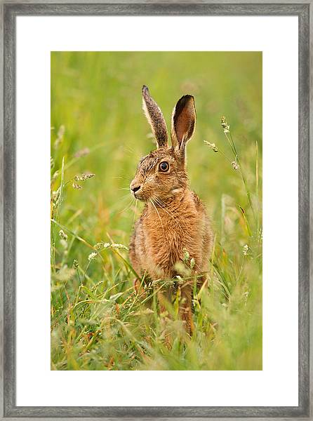 Hare In The Grass Framed Print