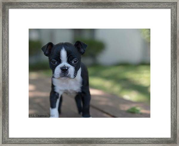 Harley As A Puppy Framed Print
