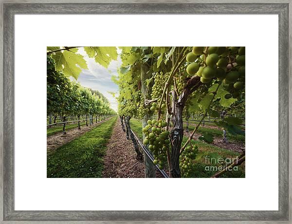 Harmony Vineyard Stony Brook New York Framed Print