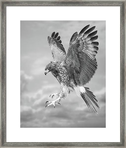 Harris's Hawk Framed Print