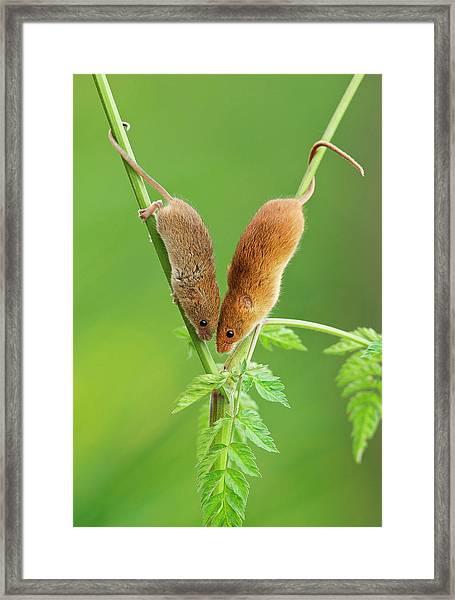 Harvest Mouse Meeting Framed Print