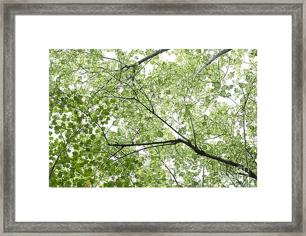 Hau Tree Canopy Framed Print
