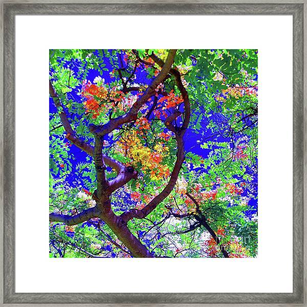 Hawaii Shower Tree Flowers Framed Print