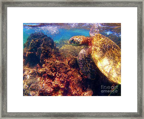 Hawaiian Sea Turtle - On The Reef Framed Print