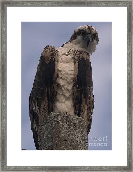 Hawk Attitude Framed Print