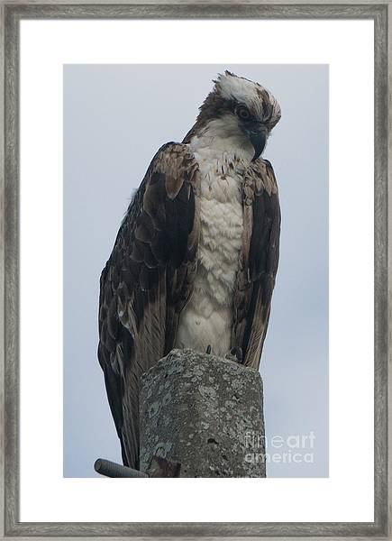 Hawk Facing Down Framed Print