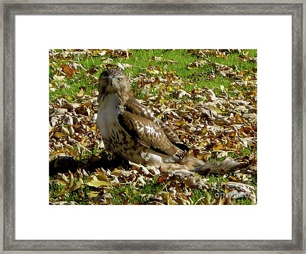 Hawk Falling Leaves Framed Print