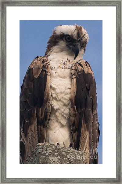 Hawk Glare Framed Print