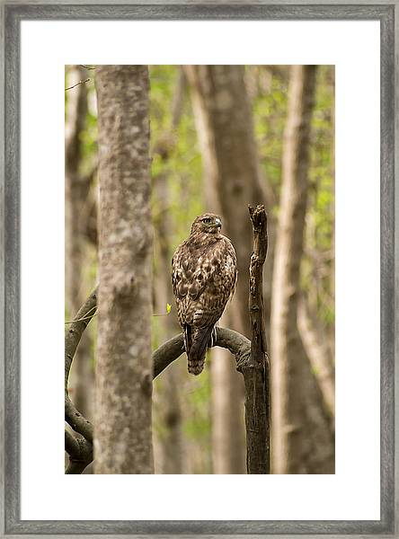 Hawk Hunting In The Woods Framed Print