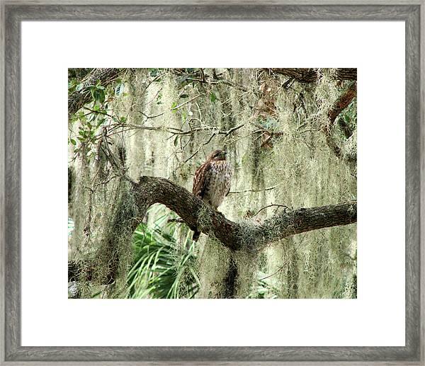 Hawk In Live Oak Hammock Framed Print