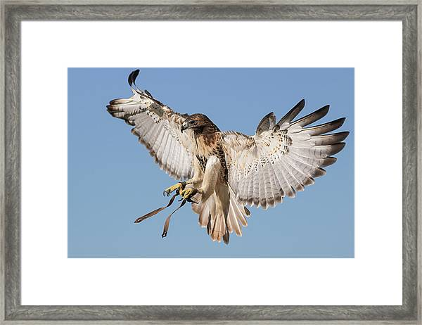 Hawk Showing Off Framed Print