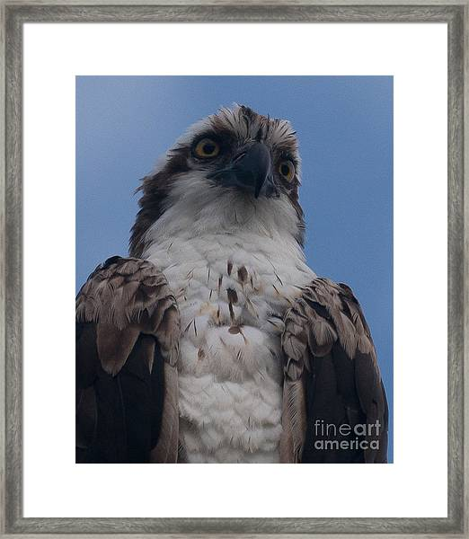 Hawk Stare Framed Print