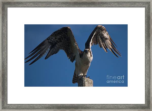 Hawk Wings Framed Print