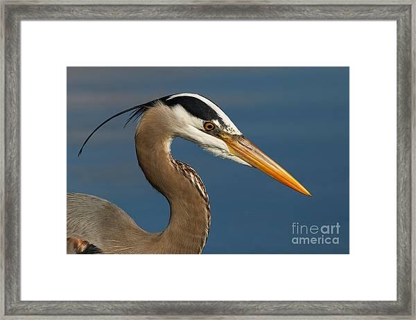 Head Of A Great Blue Heron Framed Print