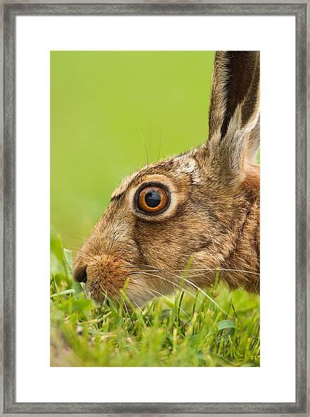 Head Of Hare Framed Print