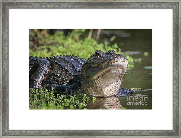 Framed Print featuring the photograph Heads-up Gator by Tom Claud