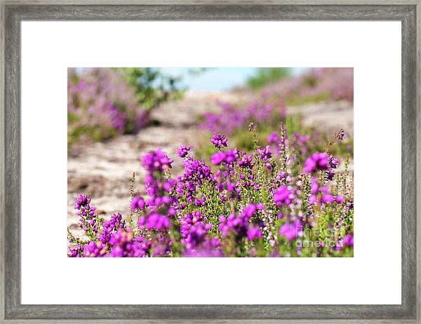 Heather - Calluna Vulgaris - In Flower In Summer Framed Print