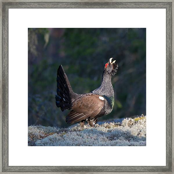 Heather Cock In The Morning Sun Framed Print