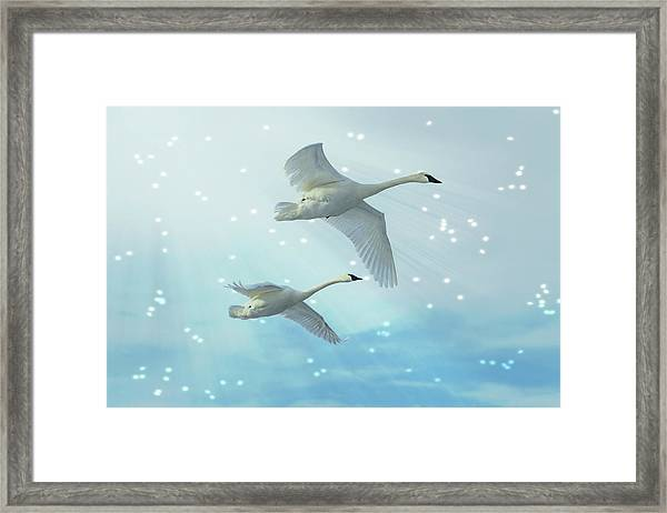 Framed Print featuring the photograph Heavenly Swan Flight by Patti Deters