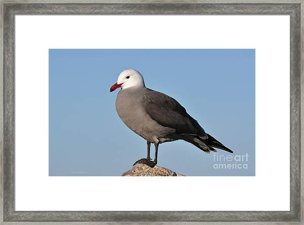 Heermann's Gull In Breeding Plumage Framed Print