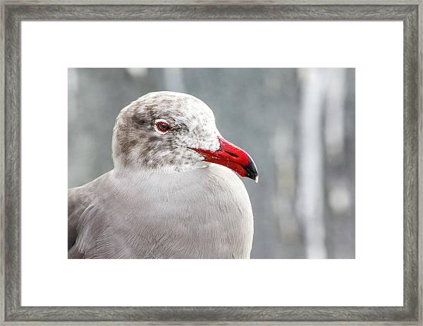 Heerman's Gull Framed Print