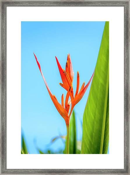 Heliconia Flower Framed Print
