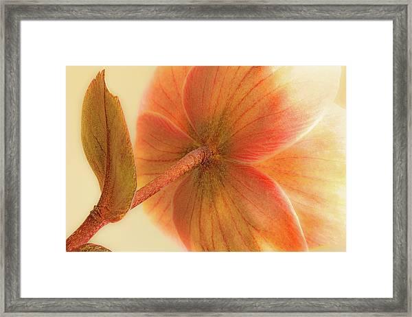 Hellebore Framed Print