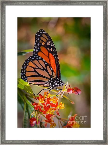 Hello Butterfly Framed Print