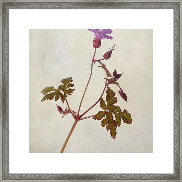 Herb Robert - Wild Geranium  #flower Framed Print