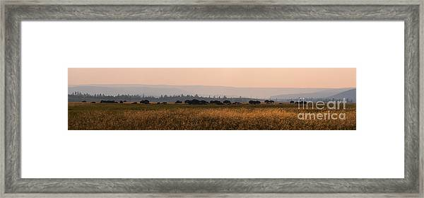 Herd Of Bison Grazing Panorama Framed Print