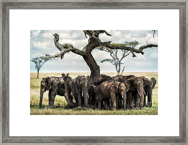Herd Of Elephants Under A Tree In Serengeti Framed Print