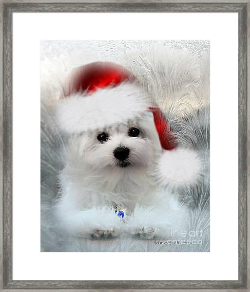 Hermes The Maltese At Christmas Framed Print
