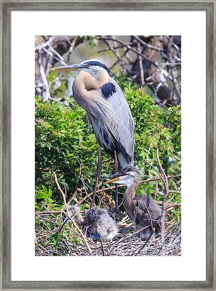 Heron Babies Framed Print